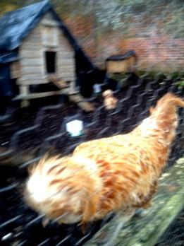 chickenDorneyCafe01_15