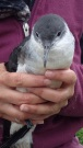 A young Manx Shearwater