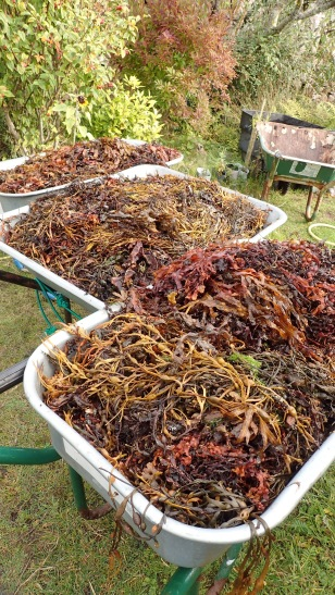Seaweed for the soil