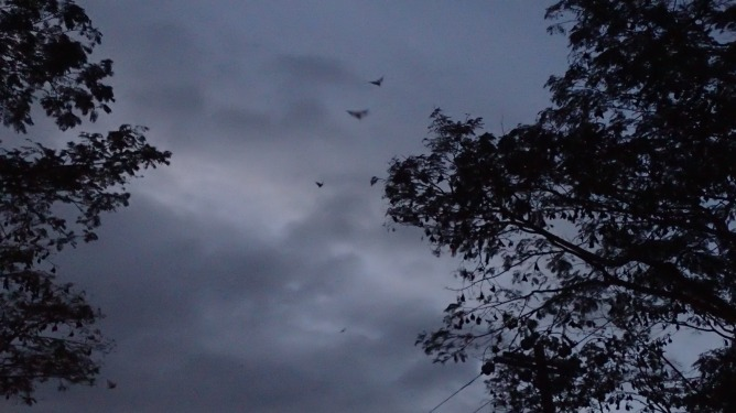 Hundreds of fruit bats leaving their roost